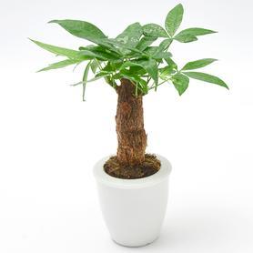发财树室内小盆栽